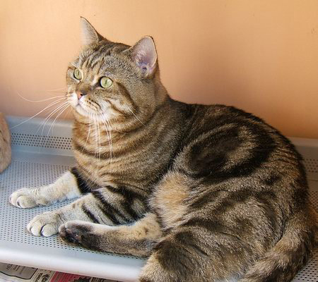 Elit Cattery EC (FIFE) SUPRIMCATS GOLDEN ITCHY