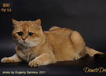 Elit Cattery Goldfever's Golden King