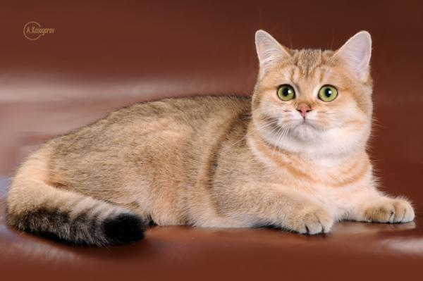 Elit Cattery British cat gold breed