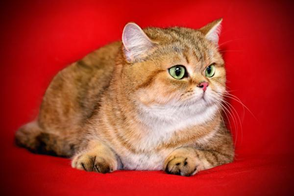 British cat gold breed