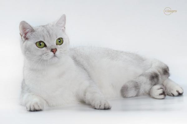British cat silver breed