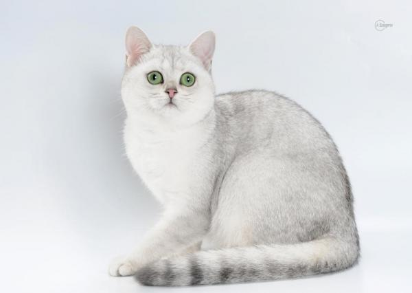 Elit Cattery cats british breed