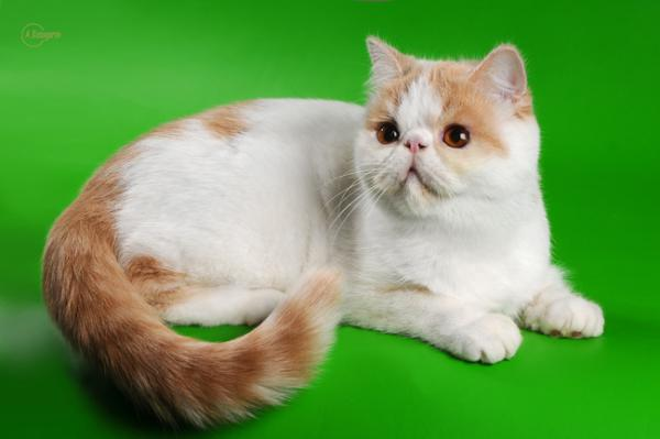 Elit Cattery fimale exotic cat