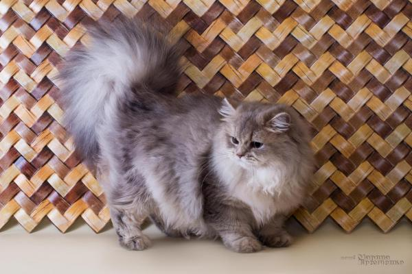 Elit Cattery KVINTA-long-haired British, blue gold