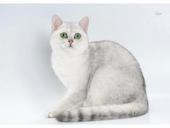 Elit Cattery British cat silver breed