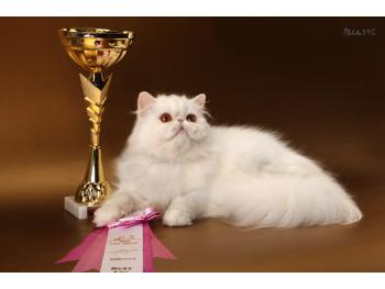 Elit Cattery Persian female cat