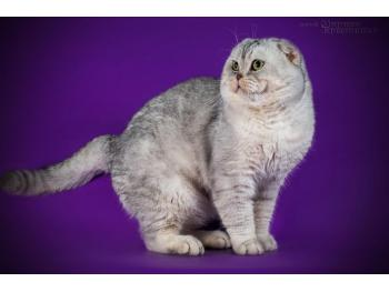 Elit Cattery cattery Scottish fold chinchilla silver ,gold fo
