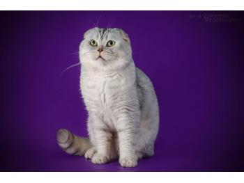 Elit Cattery cattery Scottish fold chinchilla silver ,gold folds